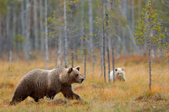 Autumn forest with bear cub with mother. Beautiful baby brown bear hiden in the forest. Dangerous animal in nature forest and mead royalty free stock photography