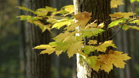 Autumn Forest. Beautiful Autumn in the Forest stock video
