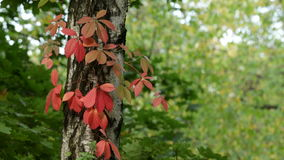 Autumn Forest. Beautiful Autumn in the Forest stock video footage