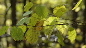 Autumn Forest. Beautiful Autumn in the Forest stock footage