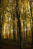 Autumn forest. In a beautiful autumn afternoon Royalty Free Stock Photo