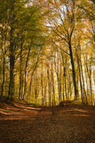 Autumn forest. In a beautiful autumn afternoon Royalty Free Stock Image