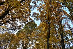 Autumn forest. Beautiful view of the forest in autumn period, the trre are dreed in colorefull leaves Stock Images