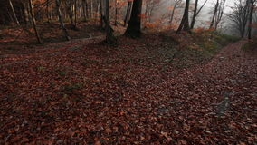 Autumn forest - beech wood landscape stock video