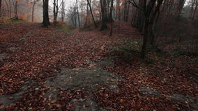 Autumn forest - beech wood landscape stock footage
