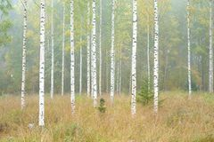 Autumn forest and birch trees. Autumn forest with birch trees in Finland stock photography