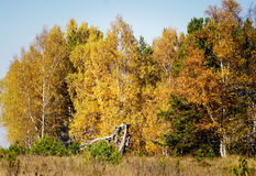 Autumn forest. Royalty Free Stock Photo