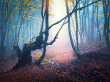 Autumn forest in blue fog and yellow sunlight Stock Photos