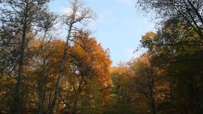 Autumn forest on blue sky background. Yellow leaves illuminated by the rays of the setting sun stock footage