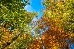 Autumn Forest Blue Sky Canopy Arkivfoto