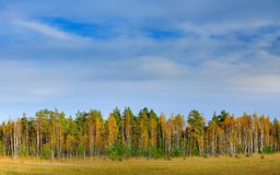 Autumn forest with blue sky and white clouds. Autumn trees in the Finland forest. Fall landscape with trees. Birch trees with pine Royalty Free Stock Photography