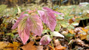 Autumn in the forest. Branch with red leaves. Autumn in the forest stock video footage