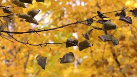 Autumn forest, branch sways in the wind, the falling yellow leaves. 1 stock video