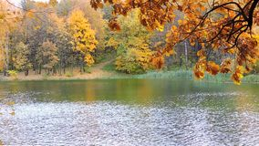 Autumn forest, branch sways in the wind over the lake, the falling yellow leaves. 1 stock footage