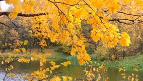 Autumn forest, branch sways in the wind over the lake, the falling yellow leaves. 1 stock video footage