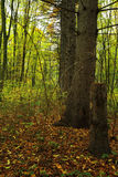 Autumn forest in bright colored leaves Royalty Free Stock Photos