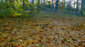 Autumn Forest In Bright Colors. Tracking Shot. Tracking shot of a beautiful  deciduous tree forest in early autumn - from green trees to the ground covered with stock video