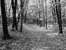 Autumn in forest BW Royalty Free Stock Image