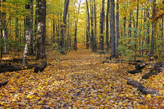 Autumn forest in Canada. Royalty Free Stock Photo