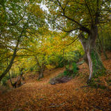 Autumn forest in Cervantes Royalty Free Stock Photo