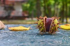 Autumn. In the forest, chestnuts fall. Royalty Free Stock Photo