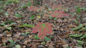 Autumn forest on a cloudy day. Leaves and trees in the autumn forest, maple leaves stock video footage