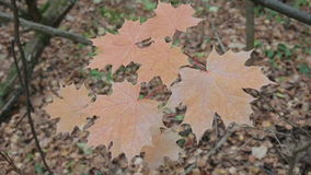 Autumn forest on a cloudy day. Leaves and trees in the autumn forest, maple leaves stock footage
