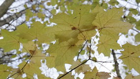 Autumn forest on a cloudy day. Leaves and trees in the autumn forest, maple leaves stock video