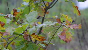 Autumn forest on a cloudy day. Leaves and trees in the autumn forest, oak leaves stock footage