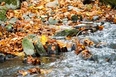 Autumn, forest, colorful leaves and waterfall, stream, lake views. The third season of the year, when crops and fruits are gathered and leaves fall, in the stock photo