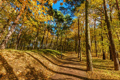 Autumn forest with colorful trees, falling leaves on a sunny day Royalty Free Stock Photos