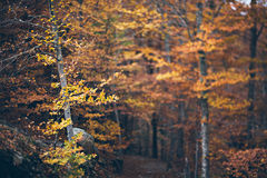 Autumn forest. Colorful trees. Out of focus image of a autumn forest with beautiful bokeh. You can use it as a background of your design concepts and Royalty Free Stock Images