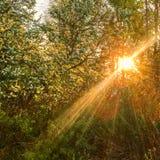 Autumn Forest con i raggi di sole di tramonto Tre dorato di Autumn Beautiful fotografia stock libera da diritti