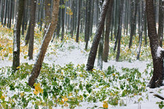 Autumn forest covered with snow Royalty Free Stock Photos
