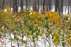 Autumn forest covered with snow Stock Images