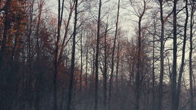 Autumn forest. Dark tree trunks. Cold weather. Gloomy forest in winter. Empty tree branches. Panorama on black tree trunks. Cold weather stock video