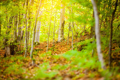 Autumn and forest. At daytime Royalty Free Stock Photo