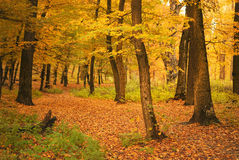 Autumn forest. Deciduous yellow trees on autumn forest Royalty Free Stock Photos