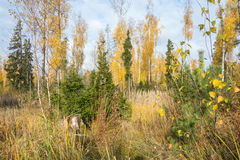 Autumn forest. Autumn forest, decorated with bright paints of autumn. Bright yellow birch stand out against the evergreen firs Stock Image