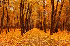 Autumn forest in deep autumn. Golden fall Stock Photos