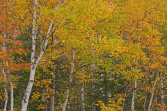 Autumn Forest des arbres de bouleau Photo libre de droits