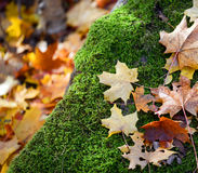 Autumn forest detail - Moss and leaves on stone Stock Image
