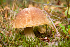 Autumn forest eatable mushroom Royalty Free Stock Photos