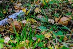 Autumn forest eatable mushrooms close-up. Mushrooms in autumn forest: boletus, Abaca close-up Stock Photo