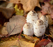 Autumn forest eatable mushrooms close-up Stock Images