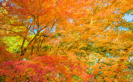 Autumn Forest en Yoshino, Nara, Japón Foto de archivo