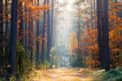 Fall forest. Autumn forest with sunlight. Footpath bettween trees with colorful autumn leaves stock photos