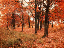 Autumn forest with fallen autumn oak leaves. Autumn colored landscape - oak forest nature in autumn cloudy day. Royalty Free Stock Images
