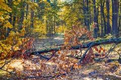 Autumn forest. Fallen tree on path. Autumn forest. Fallen tree on the path Royalty Free Stock Photo