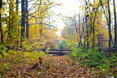 Autumn forest with fallen trees that overlap the road_. Autumn forest with fallen trees that overlap the road stock image